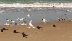 Flying Terns at Melbourne Beach Florida. Flying Terns with shadows at Melbourne Beach Florida with a wave in the background Stock Photo