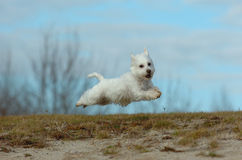 Flying terrier Royalty Free Stock Photos