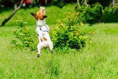 Flying terrier dog playing and jumping on green grass Royalty Free Stock Image