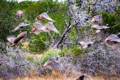 Flying Texas Turkeys Stock Photos