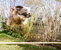 Flying Tibetan Terrier Dog. Funny tibetan terrier dog jumping over a hurdle Royalty Free Stock Photography