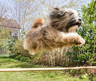 Flying Tibetan Terrier Dog. Funny tibetan terrier dog jumping over a hurdle Royalty Free Stock Images