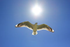 Seagull flying towards sun at blue sky Stock Photo