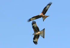Flying Together. Pair of Red Kite eagles flying together on a blue sky day Stock Images