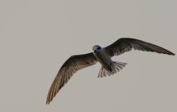 Flying on Top. Beautiful Bird flying on sky Stock Photography