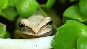 Flying Tree Frog In A Plant Pot Close Up Cute