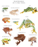 Flying tree frogs set on white Royalty Free Stock Image