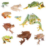 Flying tree frogs set on white Royalty Free Stock Images