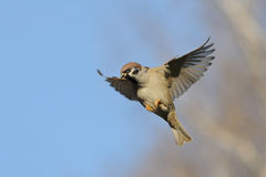 Flying Tree Sparrow against bright blue sky background Stock Image