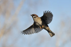 Flying Tree Sparrow against bright blue sky background royalty free stock photo