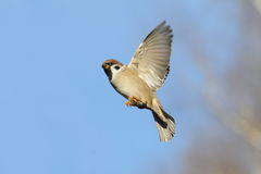 Flying Tree Sparrow against bright blue sky background Stock Photos