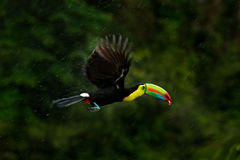 Flying tropic bird during strong rain. Keel-billed Toucan, Ramphastos sulfuratus, bird with big bill fly above the forest. Beautif stock photo