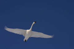 Flying trumpeter swan Royalty Free Stock Photography