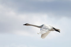 Flying Trumpeter Swan Cygnus buccinator and clouds Royalty Free Stock Photos