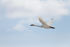 Flying Trumpeter Swan Cygnus buccinator and clouds Royalty Free Stock Photo