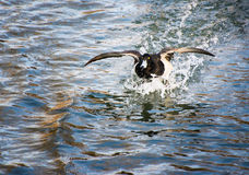 Flying tufted duck landing in the water Stock Images
