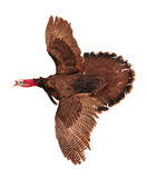 Flying turkey Stock Photo