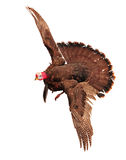 Flying turkey Stock Images