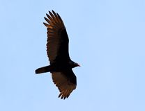 Flying turkey vulture. In the blue sky Stock Photography