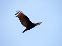 Flying turkey vulture Stock Photos