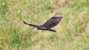 Flying turkey vulture looking for prey, scavenger avian in the skies of Costa Rica. During a hot summer day royalty free stock photography
