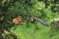 Flying turkey vulture Stock Photo