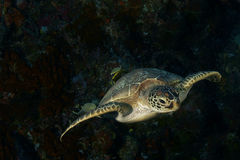 Flying turtle Royalty Free Stock Photography