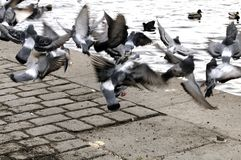 Pigeons taking off. At riverbank royalty free stock photo
