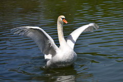 A flying up swan Stock Photography