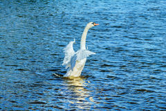 Flying up Swan Royalty Free Stock Images