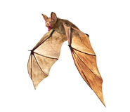 Flying Vampire bat isolated on white background Royalty Free Stock Images