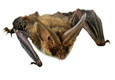 Flying Vampire bat isolated on white background. Selective focus Royalty Free Stock Photos