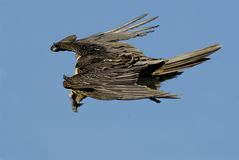 Flying vulture Royalty Free Stock Photo