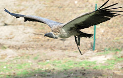 Flying vulture. A vulture that is flying (gliding) through the air short above the ground stock image