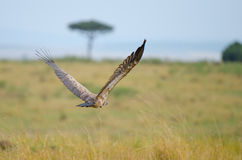 Flying vulture. A flying white-backed vulture on the plains of the Masai Mara game reserve Stock Photo