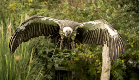 Flying vulture Royalty Free Stock Images