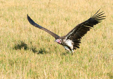 Flying vulture, masai mara kenya Royalty Free Stock Photo