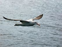 A flying Wandering Albatross, off the coast of Kaikoura, South Island, New Zealand royalty free stock images
