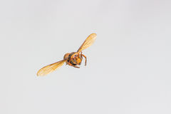 Flying Wasp, Insect Stock Photography