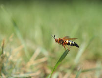 Flying Wasp Stock Images