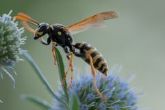 Flying wasp at work stock photos