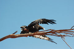 Flying Wedge-tailed eagle Royalty Free Stock Photography