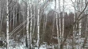 White birches in winter stock footage