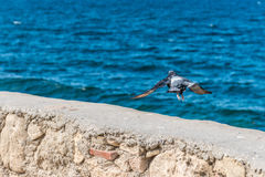 Flying white bird on blue sea Stock Images