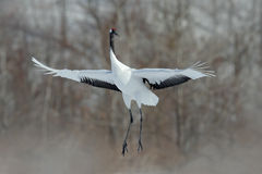 Flying White bird Red-crowned crane, Grus japonensis, with open wing, with snow storm, Hokkaido, Japan Royalty Free Stock Photos