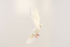 Flying white dove. Isolated on white Royalty Free Stock Photos