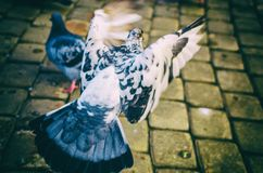 Flying white dove. Bird winter in the streets flying in the sky Stock Images
