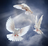 Flying white dove on blue sky background. Dove in the air with wings wide open in-front of the sun Stock Image