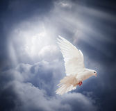 Flying white dove on blue sky background Royalty Free Stock Photo