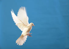 Flying white dove isolated on blue. White dove flying peace symbol blue background love Stock Photography